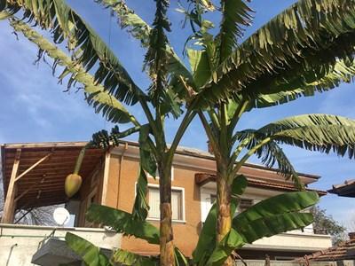 Високи палми се извисяват в двора на семейство Главнови в Катуница СНИМКА: Радко Паунов