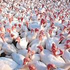 На стадата за разплод (носачките) се осигурява фронт за хранене 20-25 см на птица или една 2-метрова хранилка за 10 пуйки.  Снимка pixnio