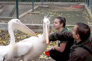 Пеликани в спасителния център