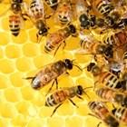 Пчелната майката снесла последователно яйца, съобразно с изграждането на далачетата. И най-старите личинки са пред запечатване. Към тях се насочват и акарите.