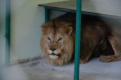 Мъжкият лъв Хектор, който заедно със сестра си Рая вече е в зоопарка на Пазарджик