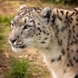 Снежният леопардНикс дойде в София,чакат и женска,за да станат двойка