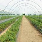 Оранжериите са предпочитани за производство, тъй като условията на средата в тях се контролират. Снимка: Архив