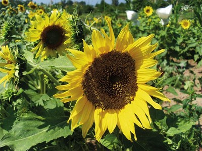 Новите сортове слънчоглед с големи пити увеличават добивите. Варианти на устойчиви култури дават надежди за по-добра реколта от тазгодишната.