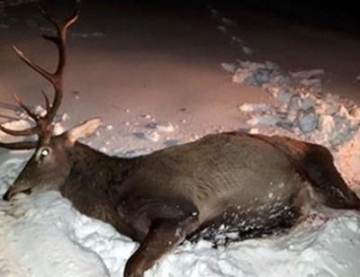 Един от убитите елени