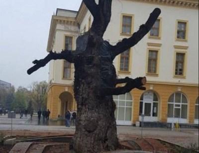 Така изглежда днес изсъхналият стар бряст в центъра на Сливен. СНИМКА: Архив