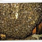 В слабите семейства, за да се реализира повече топлина, всека пчела консумира повече мед, което естествено довежда до препълване на червото с екскременти. Вследствие от това се получава разпадане на кълбото, диария и загиване на пчелното семейство.