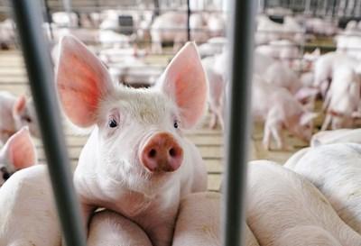 Компанията разработчик възнамерява в началото да продава месо от прасета с доставки, а не в супермаркети. СНИМКА: РОЙТЕРС