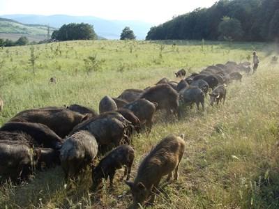 Стадо източнобалкански свине с.Ново Янково СНИМКА: Уикипедия/dr. Tsviatko Alexandrov