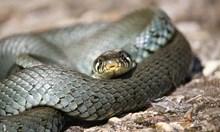 Змии са най-вероятният източник на новия коронавирус