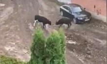 Бикове плашат хора насред София, БАБХ и общинари не откриха собственика им (Обзор)