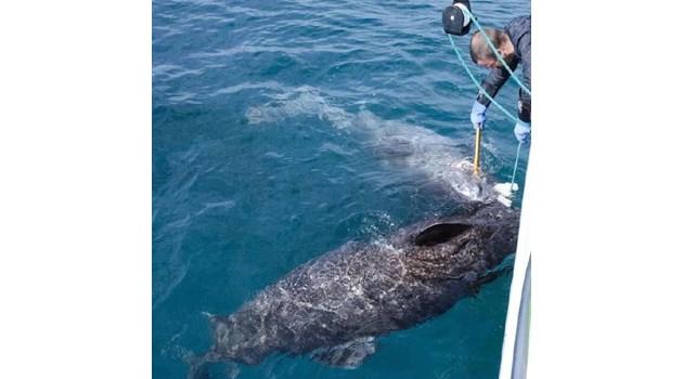 В Гренландия откриха жива акула по-стара от Шекспир