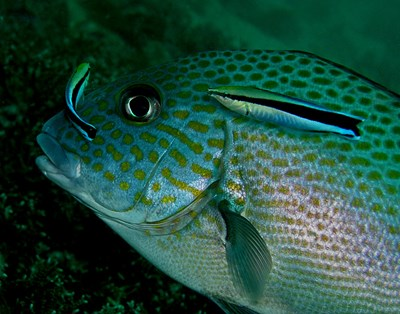 Риба-чистач СНИМКА: Уикипедия/Nhobgood