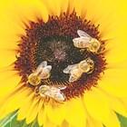 Повече от два милиона търговски колонии пчели се използват годишно за опрашване на близо 20 култури по целия свят