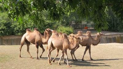 Двугърбите камили вече са в София
