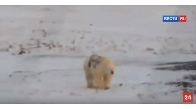"""Вандали написаха """"Т-34"""" със спрей върху бяла мечка, учените я издирват (Видео)"""