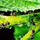 Ефективна борба срещу листните въшки