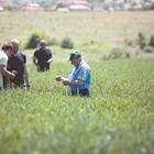 Очаква се добра реколта от пшеница