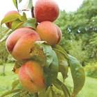 Поливане на овощните дръвчета в горещините