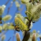 """Дивите пчели служат като """"застраховка"""" – стабилизират добивите и могат да заместят домашните пчели в случай на разко намаляване на числеността им или при трудности при наемането на кошери."""
