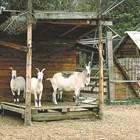 Зимни грижи за копитата на козите