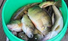 Заловиха бракониери, хващали риба с ток