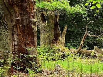 Вековни дървета растат и днес в гората на Червената шапчица. СНИМКИ: АРХИВ