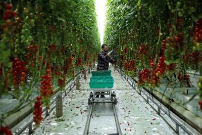 Работник бере домати във ферма в Нътсфорд, Англия.   СНИМКА: РОЙТЕРС