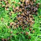 Естественото роене е един от най-леките начини за увеличаване броя на пчелните семейства. За малките любителски пчелини този метод е добър, но за големите, промишлените, не е подходящ.
