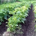 Градинарите, които отглеждатранни картофи, да се готвят