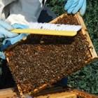 На осиротелите семейства или на тези с дефектна пчелна майка се придават запасни оплодени майки.