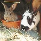 Зайкинята яде зайчетата си