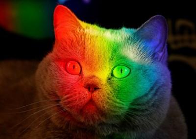 Цветен прозорец се отразява в лицето на британска котка. Домашните ни любимци не виждат всички цветове, но различават огромен брой нюанси на сивото.