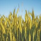 За да се опази реколтата от вредители, полетата трябва редовно да се обследват