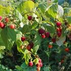 Малината - перфектният плодза всяка любителска градина