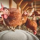 С лампи в кокошарника ще вдигнете снасянето на яйца