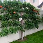 Овощи дръвчета за декорация