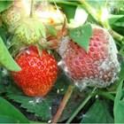 Опазете плодовете на ягодите от опасни болести