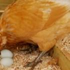 Липсата на калций често е причина за накълваване на яйцата от кокошките