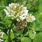 Засаждайте на ротационнен принцип едновременно цъфтящи растения (например рапица, детелина и бакла), за да осигурите допълнителен източник на нектар и полен за пчелите и другите насекоми.
