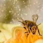 Учени: Пчелите са най-важното живо същество на планетата