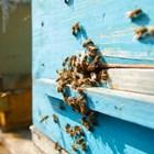 Учените доказаха, че генетичното разнообразие подобрява устойчивостта на болести и продуктивността на пчелните колонии, включително тяхната презимуваща способност.