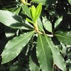Дафиново дърво в двора