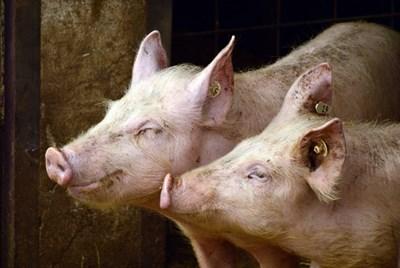 Пет прасета са умъртвени след положителните резултати