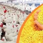 Предимствата от изхранване на едросмляна царевица на бройлери