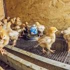 Бройлерните и обикновените пилета може да растат заедно, докато са малки Снимки: YouTube