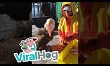 Нахален орел краде риба