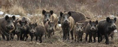 Стадо дива свиня