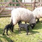 Овцете и агнетата трябва да останат заедно само до отбиването