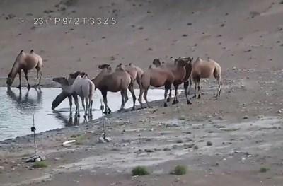 Рядка бяла камила е заснета в Китай (Видео)